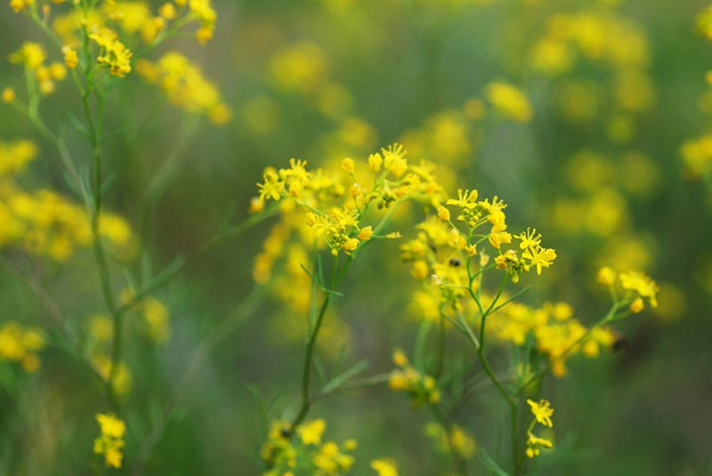 цвете еньовче